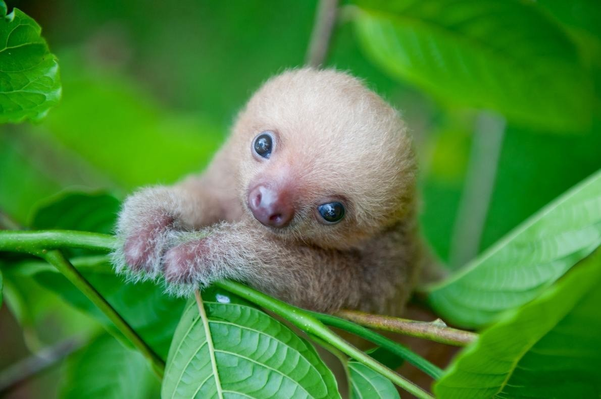 Meet Kermie. This is a two-toed sloth. Jerome is practice his climbing skills at a few months old.