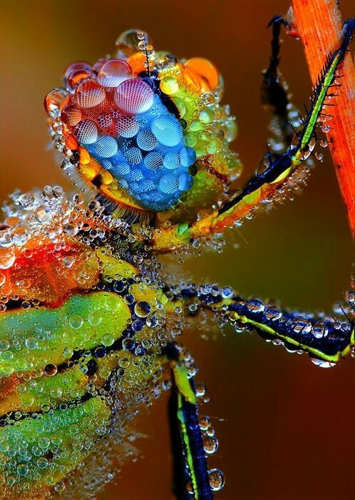Lara...Dragonfly covered in dew...