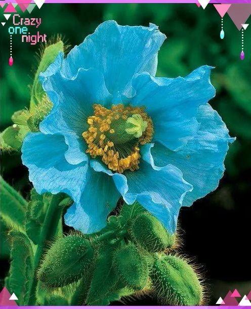 喜馬拉雅…藍色罌粟花/Himalayan BIue poppy/ 罌粟花…別名~虞美人、鴉片花、大煙花、御米、米囊花。 可提煉鴉片、嗎啡、海洛因、可卡因等毒品。 可謂是艶麗花卉的背後殺手~~毒品…