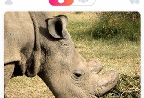 Un rinoceronte, el soltero más codiciado en Tinder