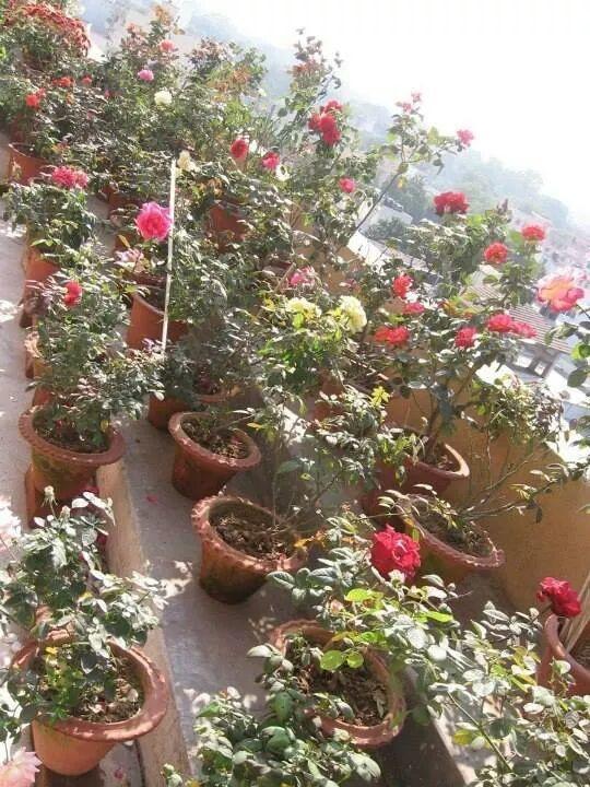 Happy Rose day my garden rose