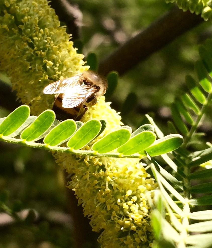 Happy bee in AZ Mesquite