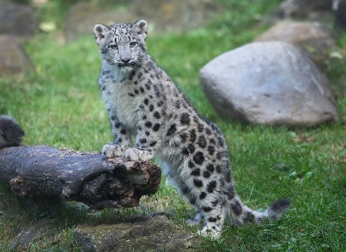 Snow Leopard Cubs Make Public Debut at Brookfield Zoo: Pictures