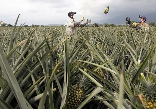 Low-hanging fruit: scientists unlock pineapple's genetic secrets