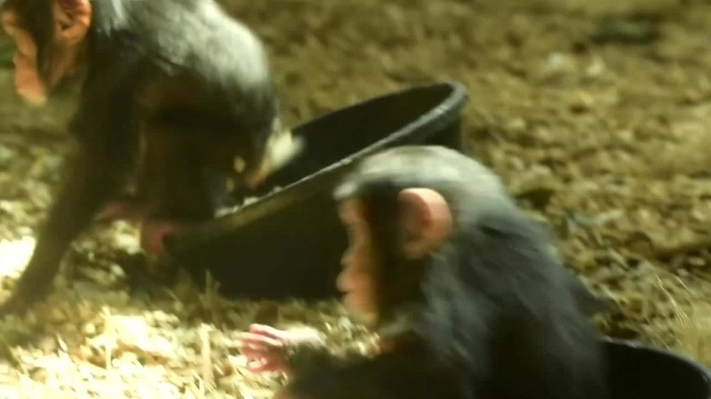 Baby chimpanzees spend the day playing together