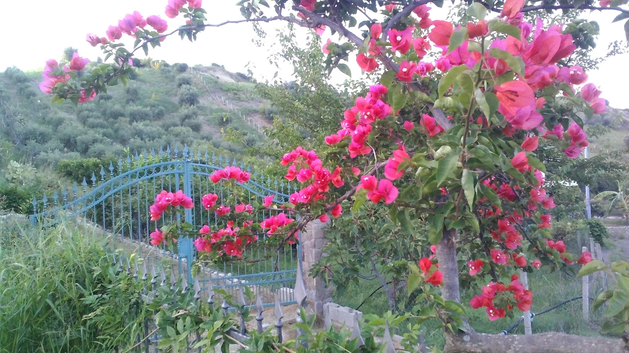 bouganville rossa in fioritura