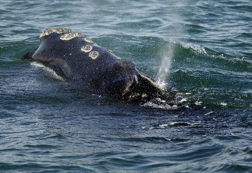 Shutdown makes it tough for groups to help endangered whales