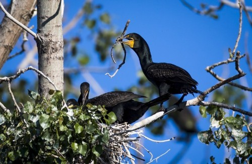 U.S. culls over 1,200 Oregon cormorants, sparks outcry