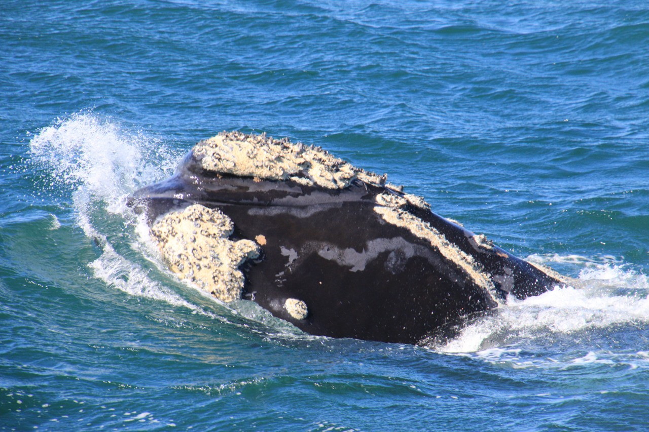 Southern Right Whale in Cape Town South Africa.