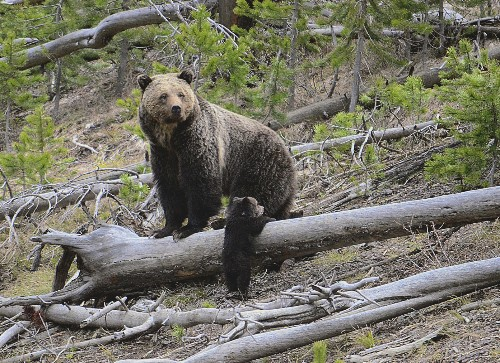 Grizzlies on the move in US Rockies as hunting in limbo