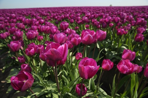 Tulips Blossom in Germany: Pictures