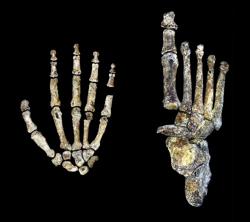 Newly identified human ancestor was handy with tools
