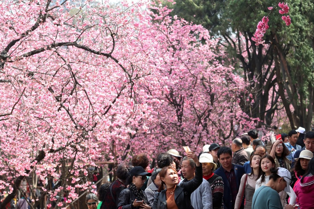 Cherry Blossom Season Blooms Early in Asia: Pictures