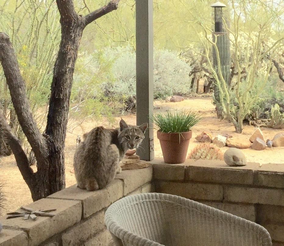 AZ Bobcat