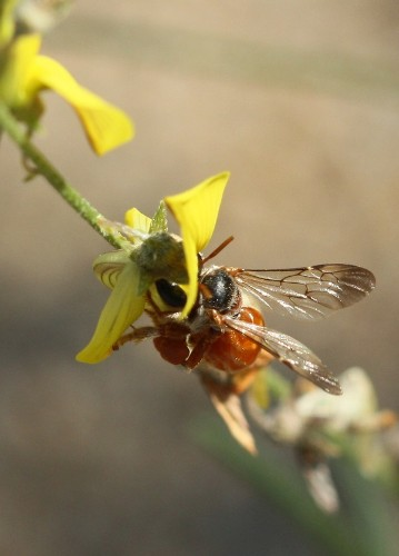Bee With No Stripes Discovered in Kenya