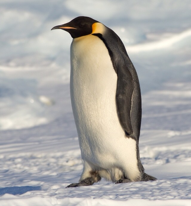 Penguins are very intelligent species of animal. They live on ice in Antarctica. The biggest species of penguin is the emperor penguin. The dad penguin keeps the eggs warm whilst the mother goes out on a fishing trip for food. When penguin is born in a couple of months then the dad starts feeding it with pre chewed food. Then the mother comes to find the dad and the baby. They find each other by a special talk because they all have their unique talk. They all look the same that's why they have their special talk. Mum and dad they baby penguin to the ocean to teach them how to swim.