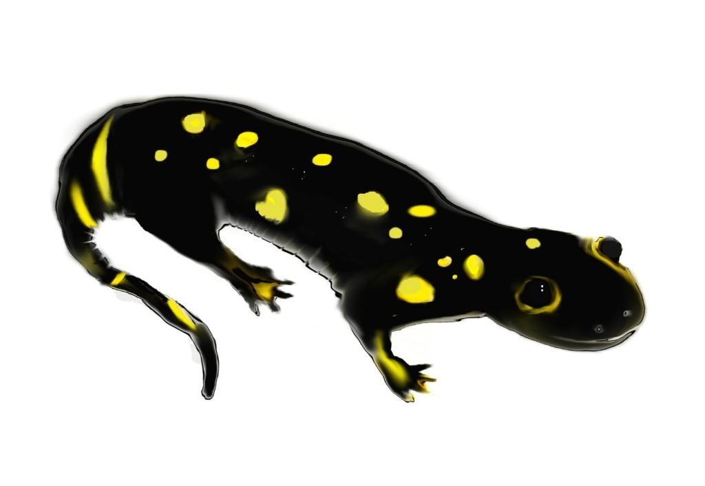 "salamander art print / animal amphibian endangered species nature art decor / black yellow large wall art / ""California Tiger Salamander"""