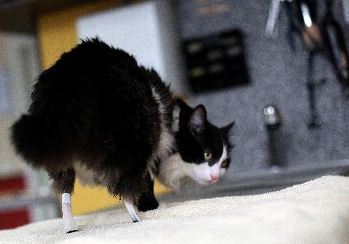 Pooh the bionic cat seeks new home in Bulgaria
