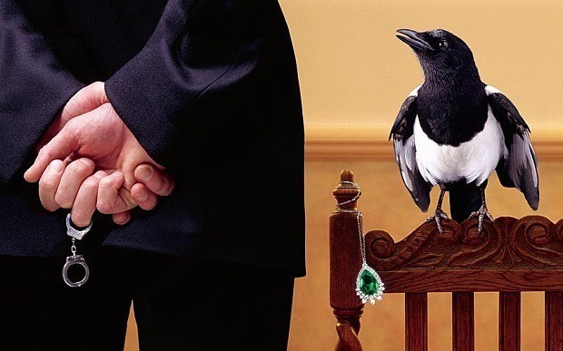 Magpies are not thieves, new study finds