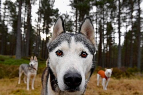 Siberian Husky Club of Great Britain Prepares for Big Race: Pictures