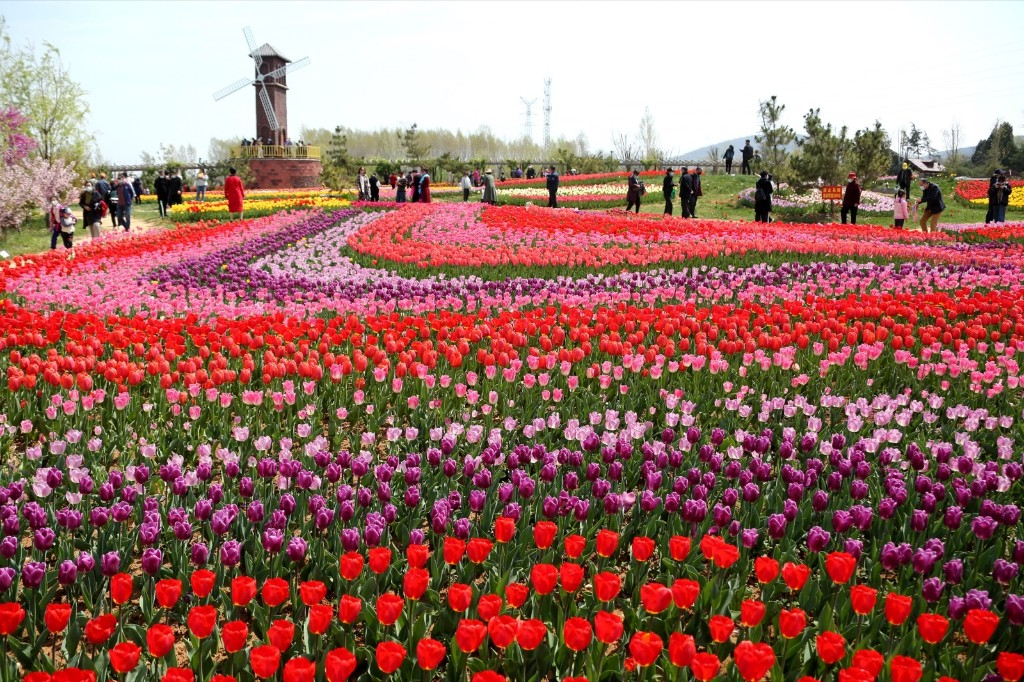It's Spring and the Tulips Are Blooming: Pictures