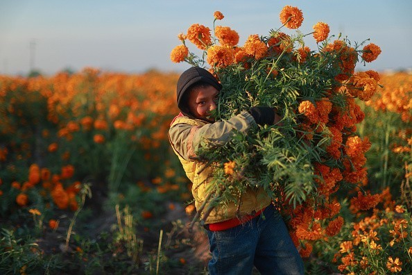 Harvesting Marigolds: Day of the Dead Preparations in Mexico
