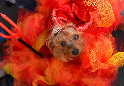 Halloween Costume Parade for Dogs: Pictures