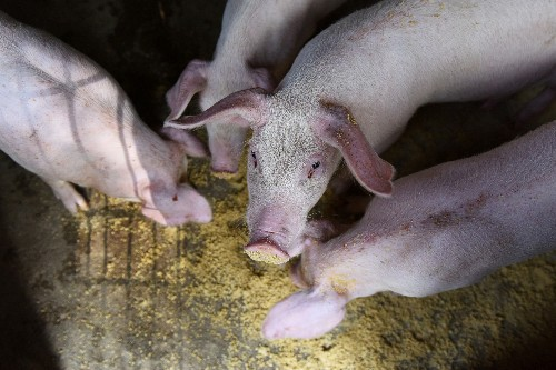 China to speed up subsidies for pigs culled due to African swine fever