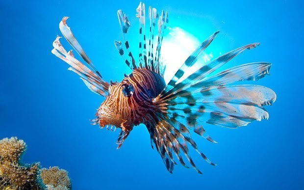 Fighting the Caribbean's lionfish invasion