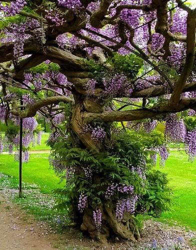 viola 🌸 wisteria