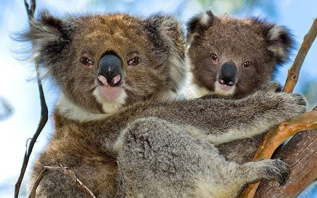 Close to 700 koalas killed by authorities in Australia because of overpopulation
