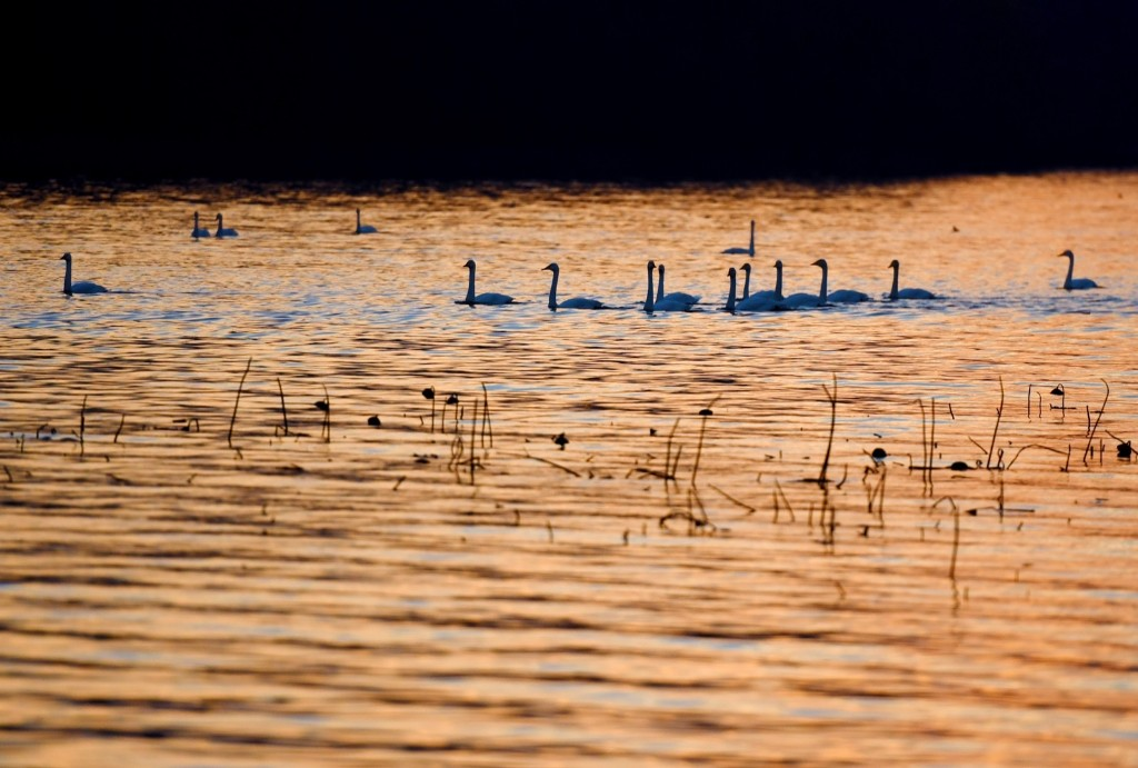 Swans Migrate to Swan Lake in China: Pictures
