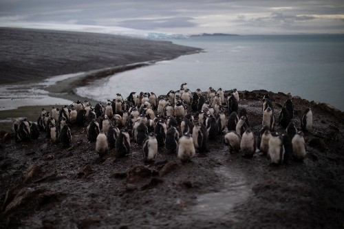 Number of chinstrap penguins in Antarctica has fallen sharply: scientists