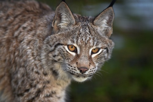 Lynx Cubs in Scotland: Pictures