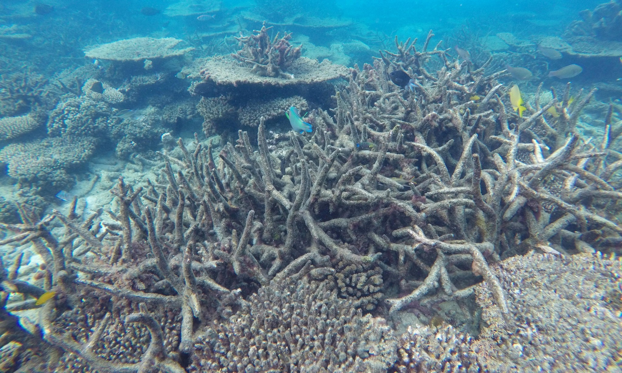 Coral bleaching on Great Barrier Reef worse than expected, surveys show