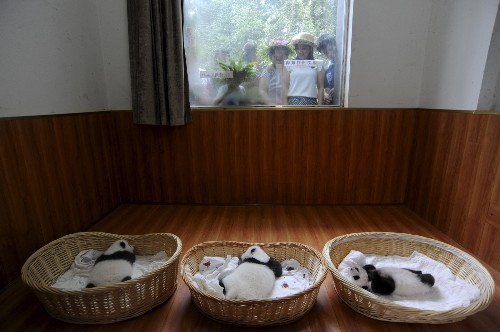 Panda Cubs Make Debut Appearance in Ya'an China: Photos