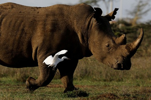 Eggs from last northern white rhinos fertilized, scientists say