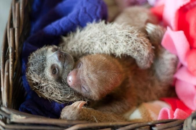 Meet Locket and Elvis. These two sloths are cuddling at the refuge.