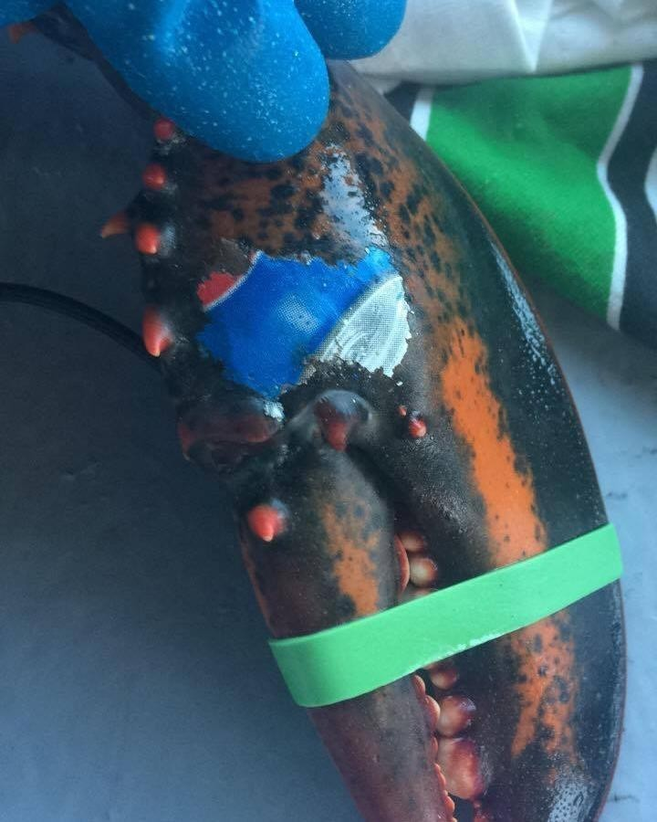 Lobster found with Pepsi logo 'tattoo' fuels fears over ocean litter