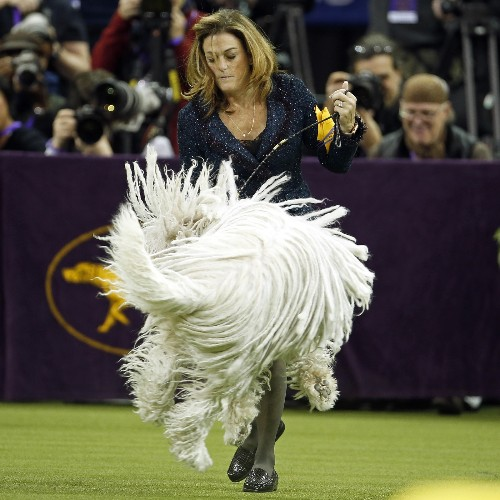 It's the Bichon Frise at Westminster: Pictures