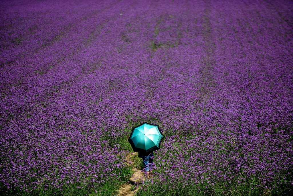 Lavender Theme Park Blooms in China: Photos