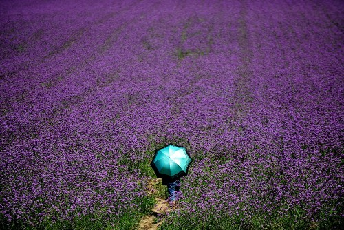Lavender Theme Park Blooms in China