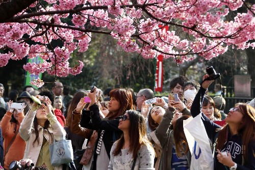 Cherry Blossoms Bloom in Japan: Pictures