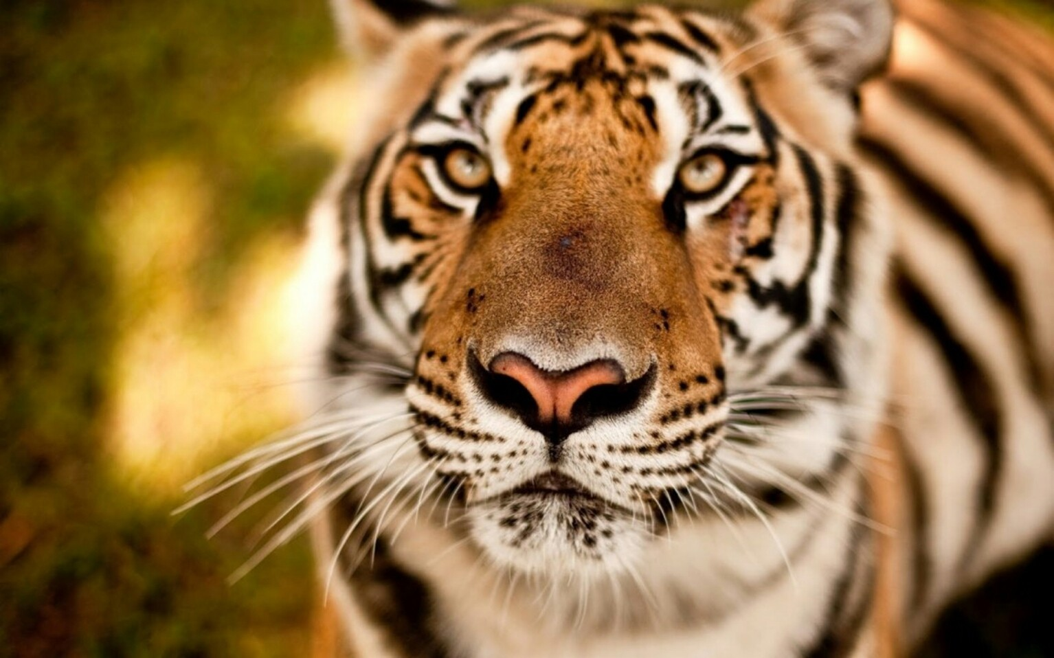This is a real life tiger
