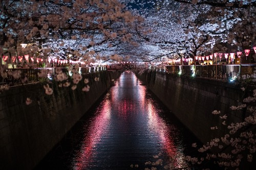 Cherry Blossoms Photographed at Night