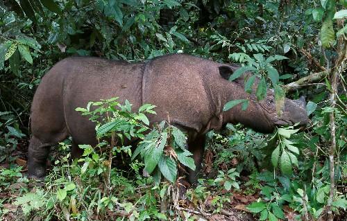 Malaysia's last Sumatran rhinoceros dies