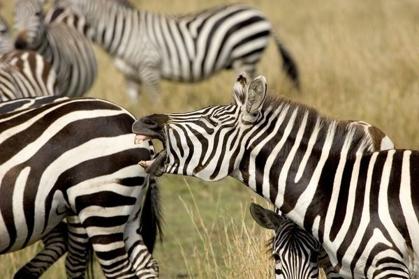 Why Do Zebras Have Stripes? New Study Makes Temperature Connection