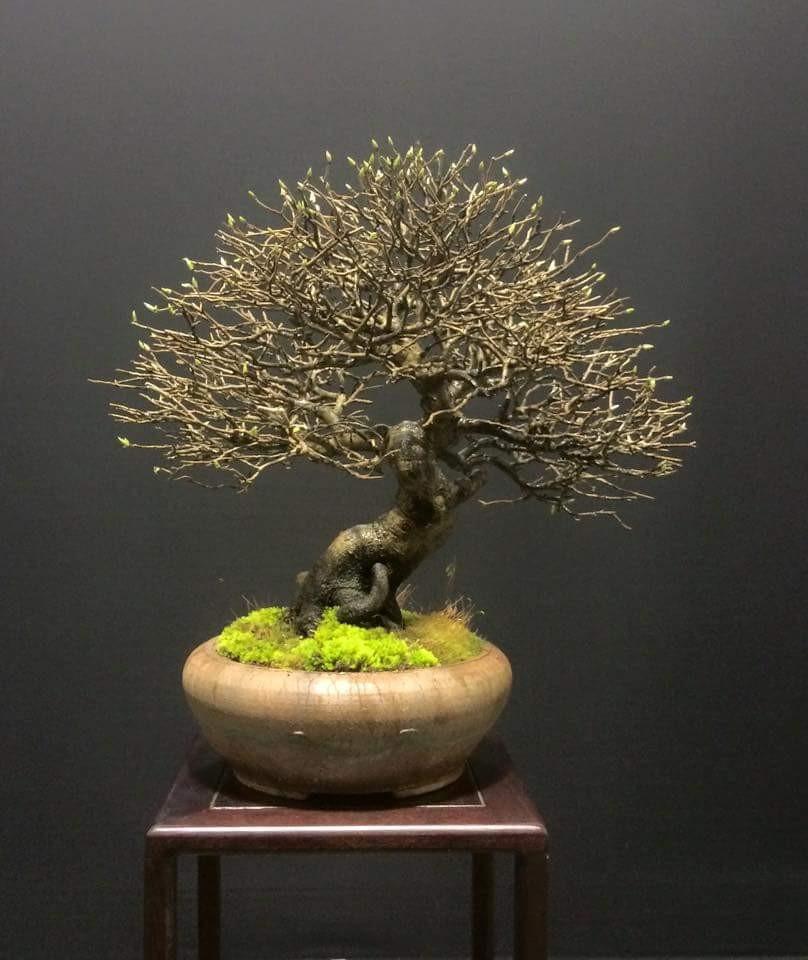 Studio Botanico Bonsai tree