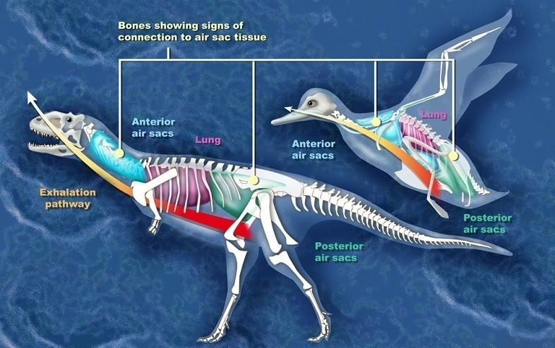 「鳥になる遺伝子」をスイッチオン! 恐竜から進化したと噂の鳥。進化のヒミツは「遺伝子の使い方」だった