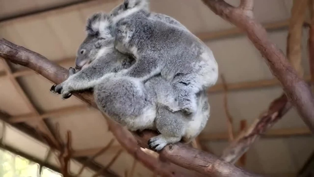 Koala 'super mum' carries three joeys at Australian zoo